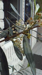 オリーヴの花