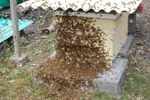 疑似分蜂発生
