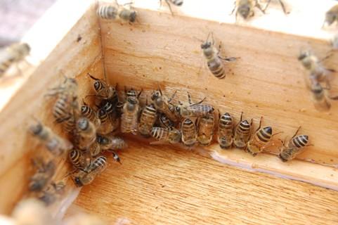 西洋日本蜜蜂