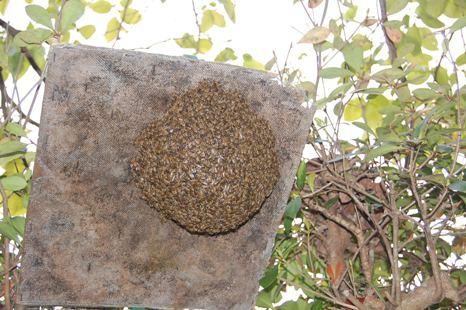 分蜂誘導板の蜂球