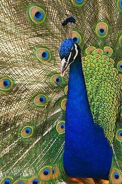 250px-Oregon_zoo_peacock_male.jpg