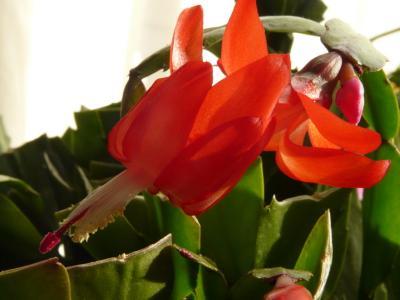 20091201我が家のシャコバサボテン 005-5