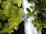 Bacopa caroliniana (ウォーターバコパ)開花