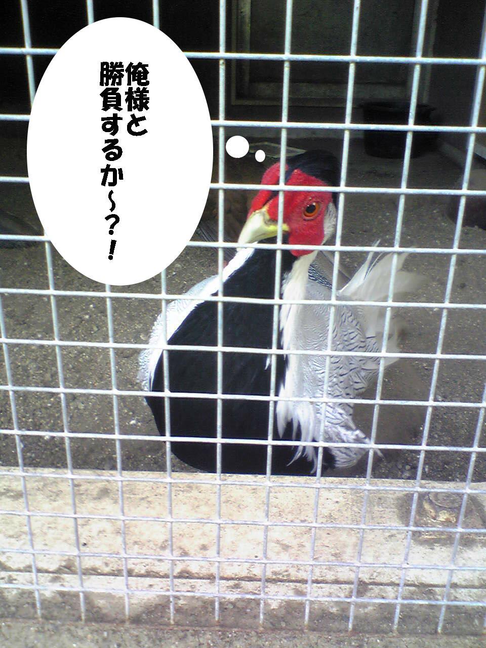 ハッカン(オス?)