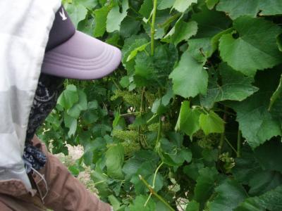 leaf plucing 7