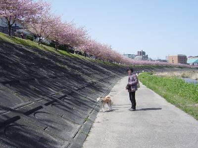 kawazusakura10_2009.jpg