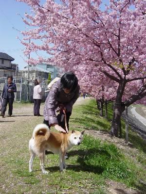 kawazusakura5_2009.jpg