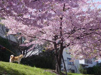 kawazusakura7_2009.jpg