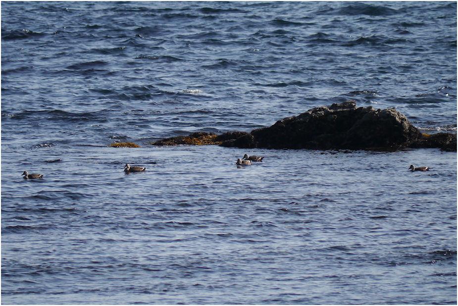 海上のカルガモ