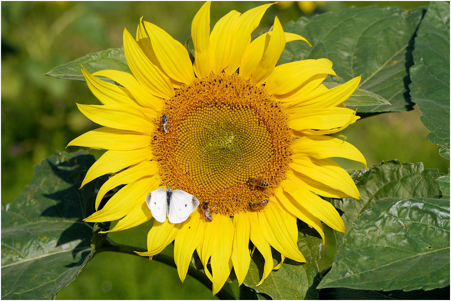 秋のひまわりとミツバチと