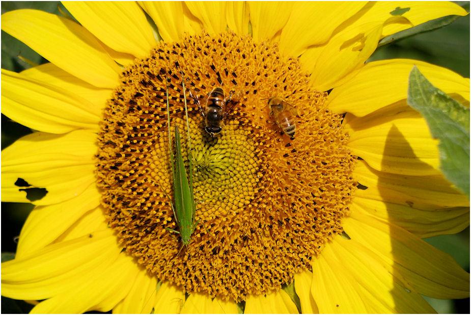 秋のひまわりと昆虫