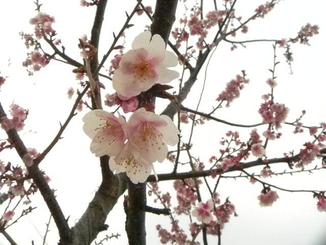 あたみ桜~