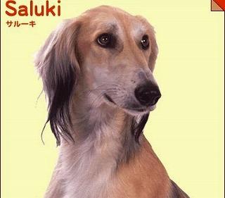 s-b-saluki.jpg