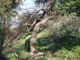 梅の古木を伐採