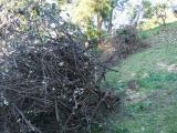 切った梅の木