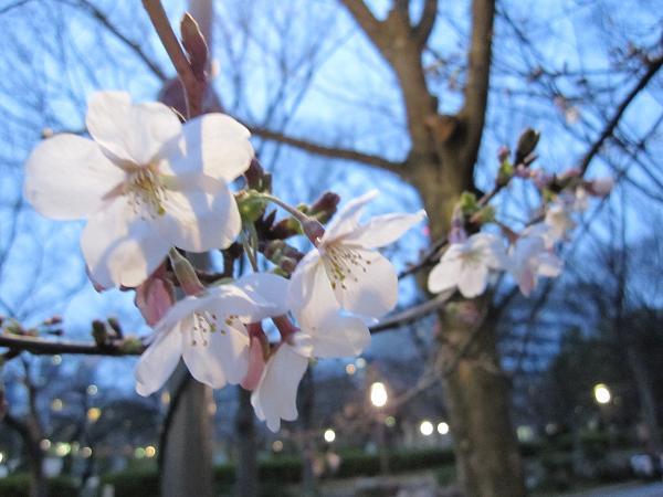 靭公園 桜開花 2010