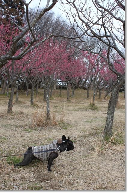 201101梅の木