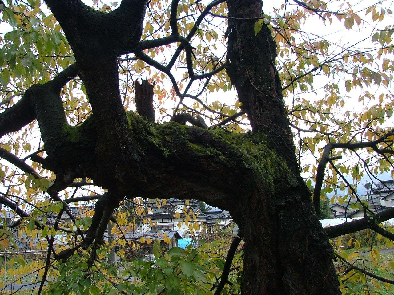 桜の老木_1123画像0120