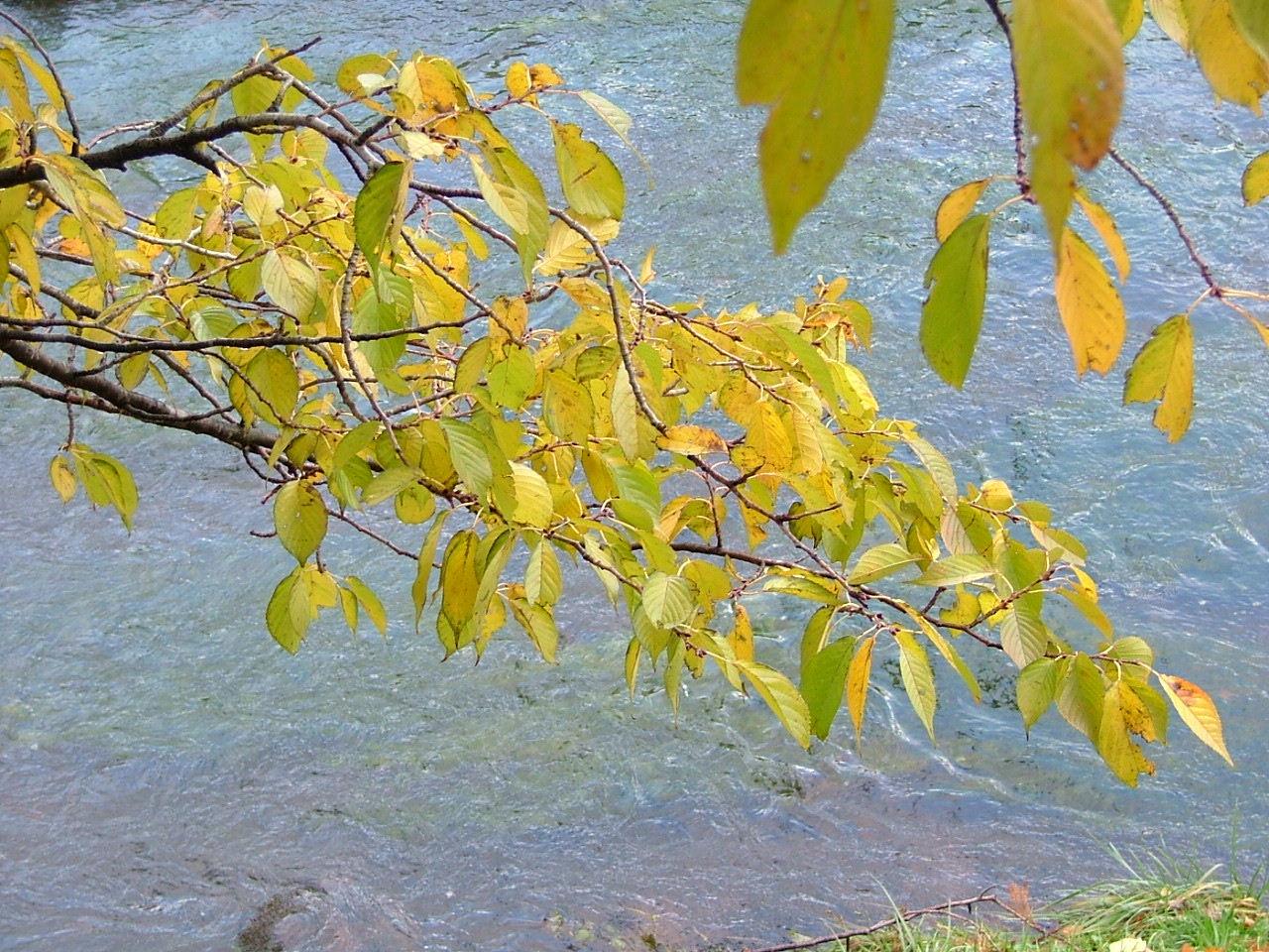 川と桜葉1123画像0121