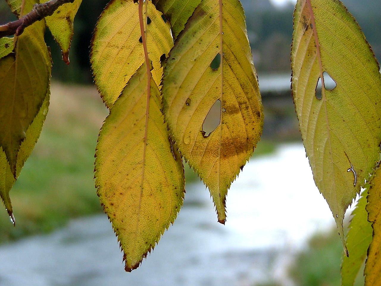 2山桜の葉_1123画像0125