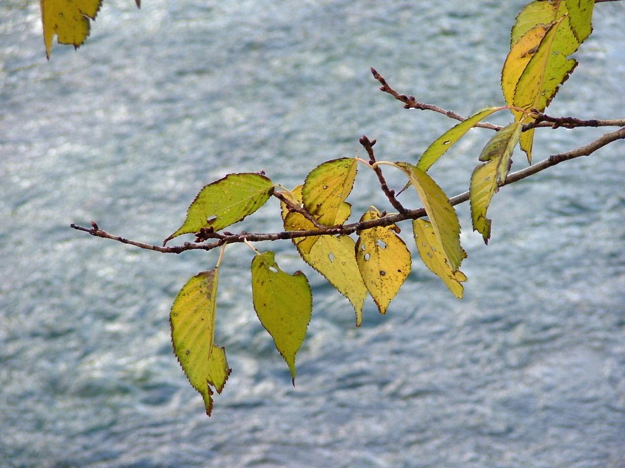 6小川と山桜の葉1123画像0126