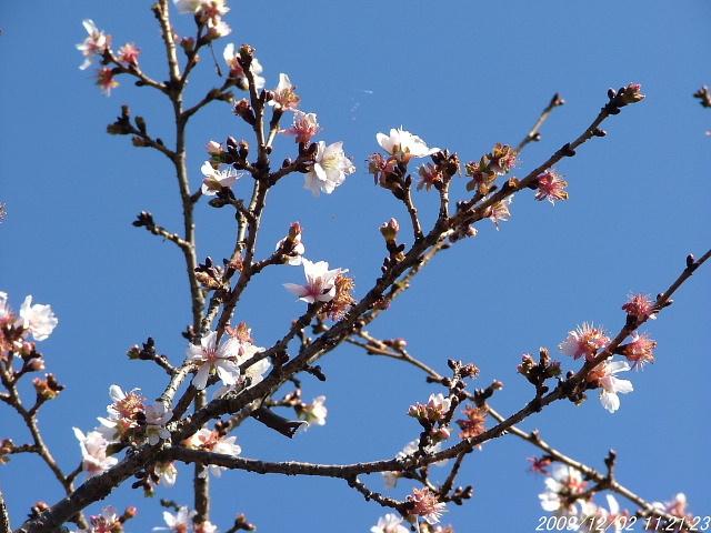 1冬桜1202画像0001