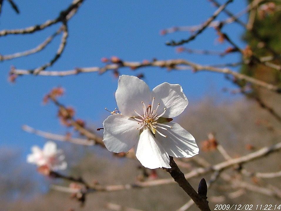2冬桜1202画像0002