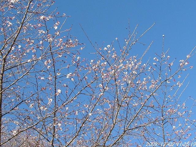 3冬桜1202画像0004