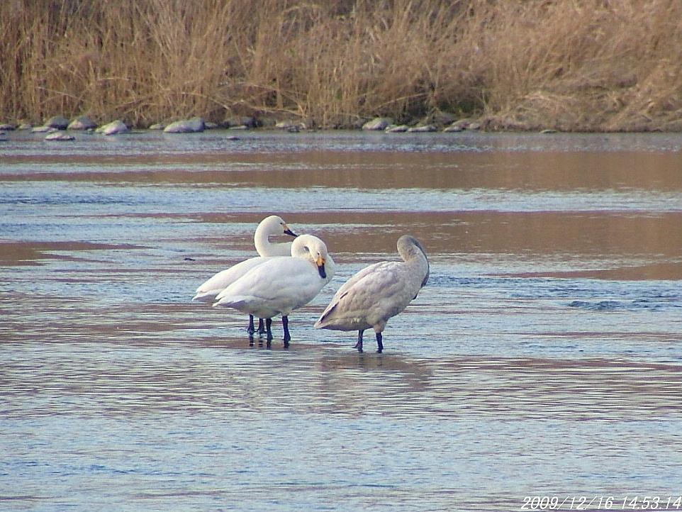 1白鳥1216画像0001