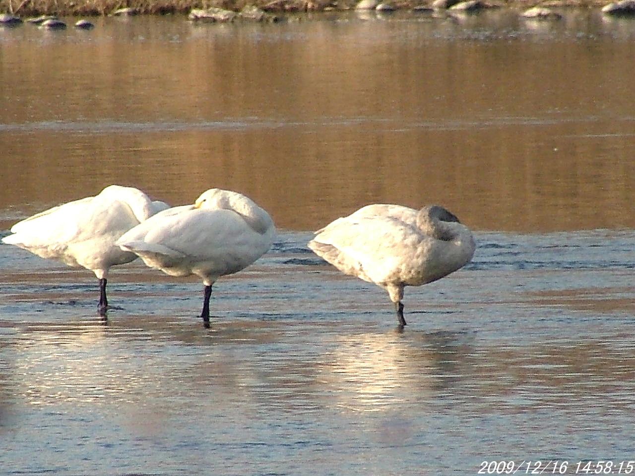 2白鳥1216画像0011