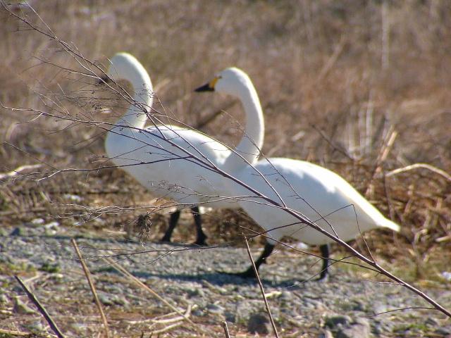 7白鳥203画像0016