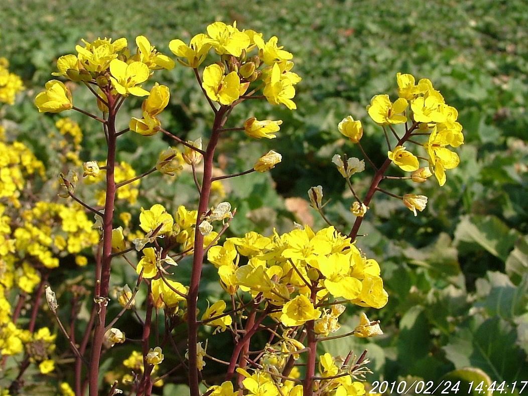 2アブラナ科の花224画像0004