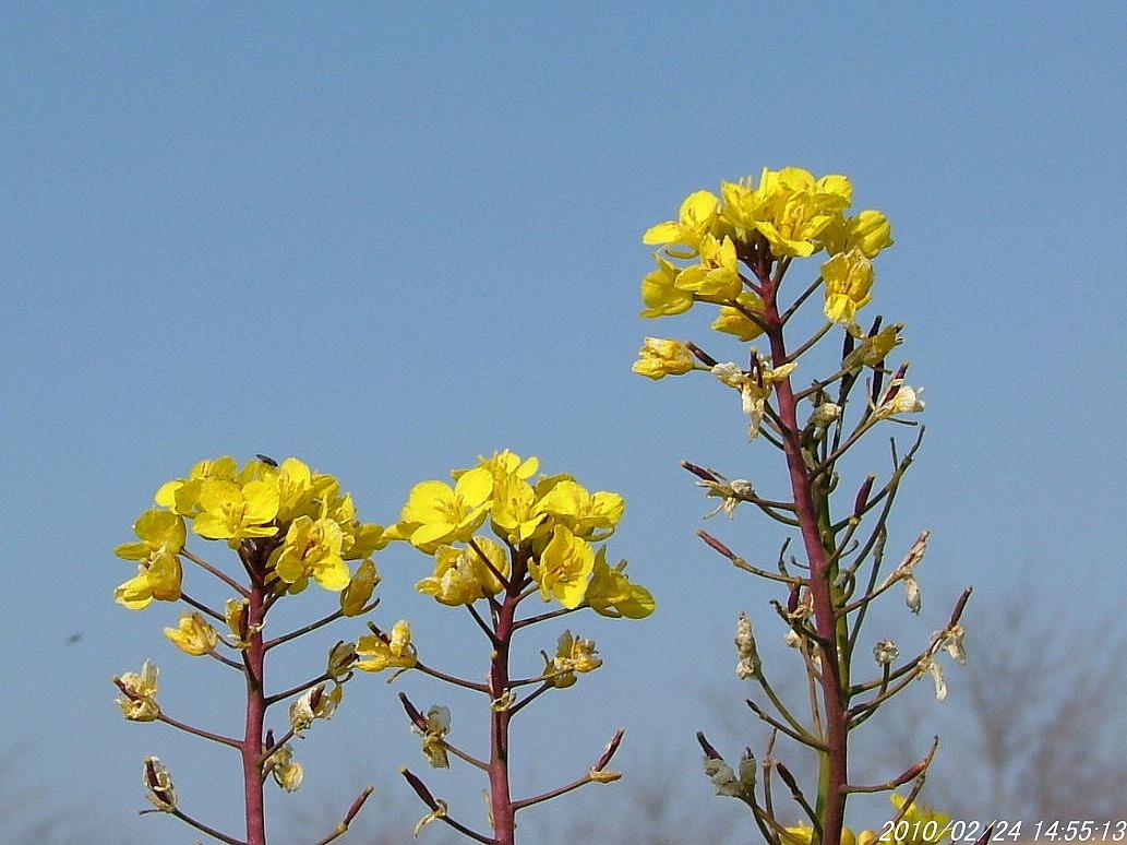 7アブラナ科の花224画像0010