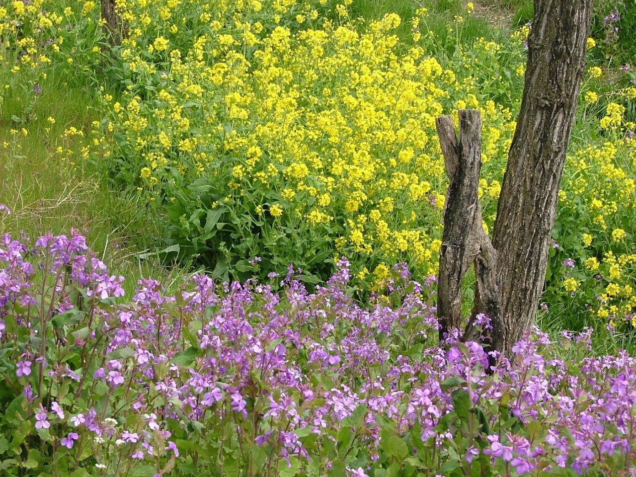 菜の花とダイコンの花331画像0014