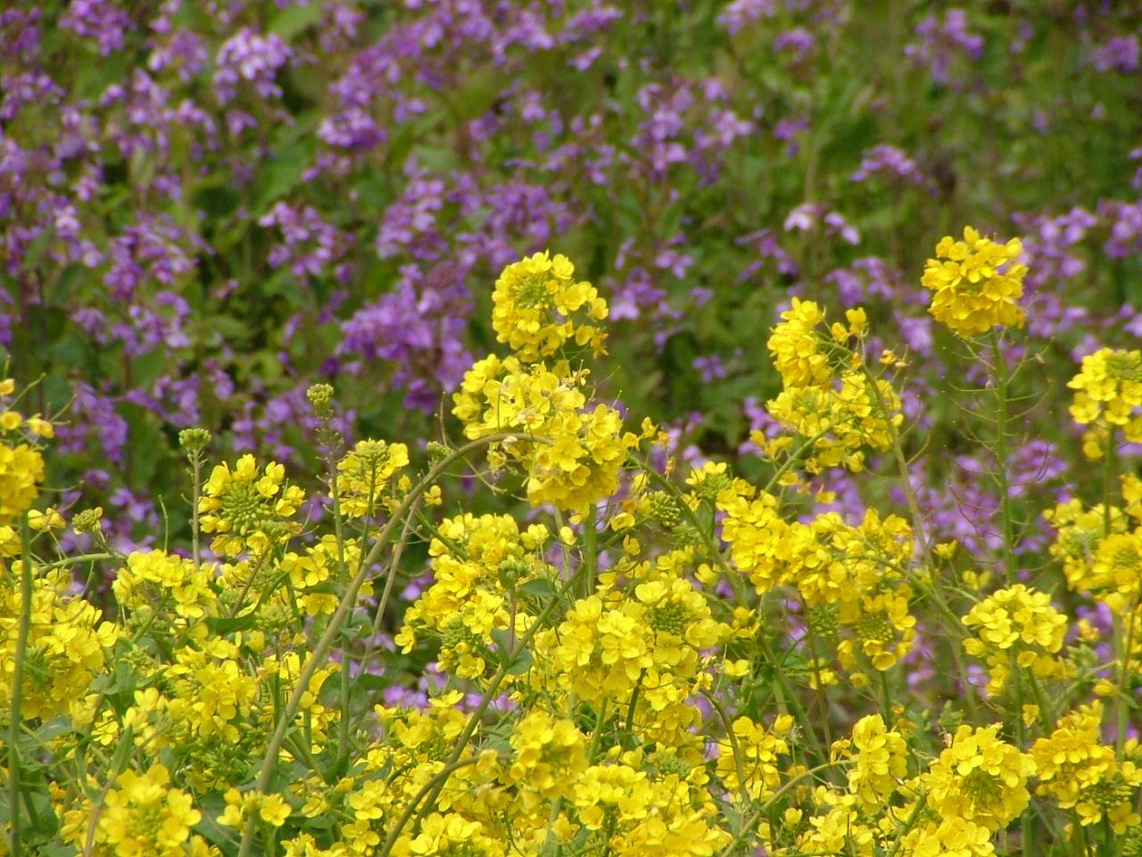 2菜の花とダイコンの花331画像0018