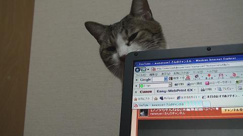 パソコンを噛む猫1