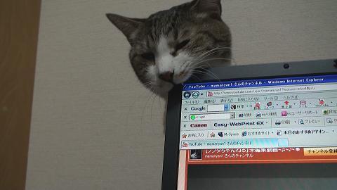 パソコンを噛む猫2