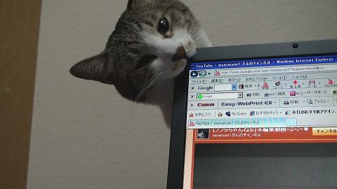 パソコンを噛む猫3