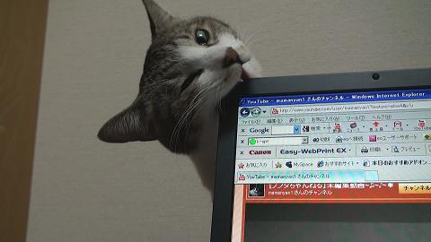 パソコンを噛む猫4