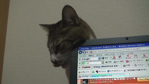 パソコンを噛む猫6