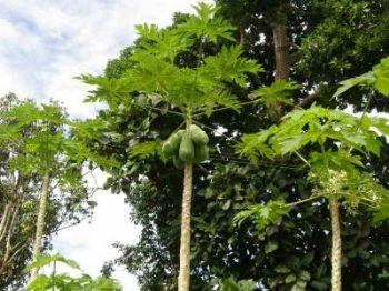 papaia_convert_20080613220240_350.jpg