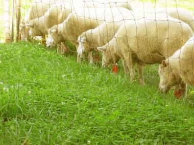 sheep_sapporo.jpg