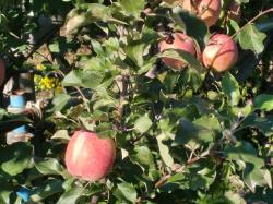 りんごが・・・