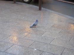 孤独な鳩ちゃん1匹