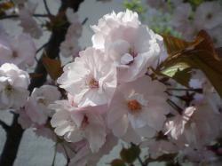 道ばたの桜