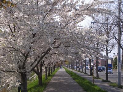 新川通りの桜並木