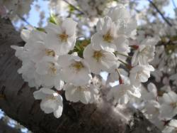 新川通の桜