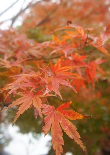 キレイな紅葉
