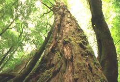 何千年も生きている樹齢の樹