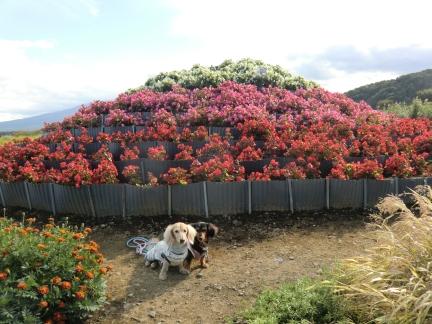 ⑨花の富士山